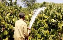 Nhiều chủ vườn lao đao vì cà phê mất mùa, rớt giá