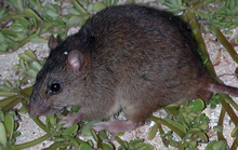 Động vật có vú đầu tiên tuyệt chủng vì biến đổi khí hậu