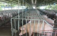 Dịch tả lợn có lây sang người?