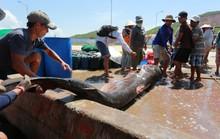 Đầu năm nghe ngư phủ kể chuyện săn cá mập