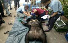 Giải thoát  2 chú gấu sau 15 năm nuôi nhốt tại Bình Dương