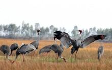 Gia đình sếu đầu đỏ dìu dắt nhau về khu Ramsar thứ 2.000 của thế giới