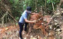 Triệt hạ gỗ quý gần trạm bảo vệ rừng