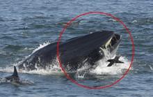 Khoảnh khắc phó mặc bản năng của thợ lặn rơi vào miệng cá voi