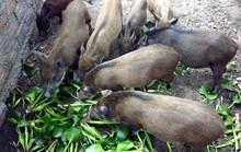 Tổ công tác Thủ tướng tuýt còi thông tư cấm nuôi heo bằng bèo tây, thân chuối
