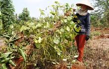 Người trồng tiêu, cà phê lỗ nặng vì bị... bẻ kèo: Phát hiện nhiều sai phạm đất đai