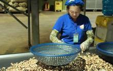 Ngành điều bất ngờ về con mọt khiến nguyên liệu bị kẹt tại cảng