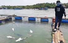 CLIP: Hàng chục tấn cá bớp loại 3-5kg/con phơi bụng ở TP Vũng Tàu
