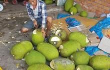 Người dân Bình Phước đổ xô trồng mít Thái vì lãi khủng