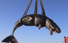 Clip: Cá nhà táng mang thai chết với 22 kg rác nhựa trong bụng