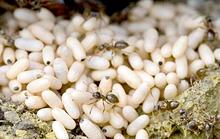 Nửa triệu đồng một kg trứng kiến gai đen
