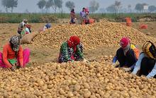 Pepsi kiện nông dân Ấn Độ vì trồng khoai có bản quyền