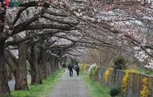 Ngắm con đường hoa anh đào dài nhất thế giới tại Nhật Bản