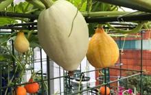 Gia đình ở TP HCM bị nhầm là trồng rau đột biến vì quá tốt