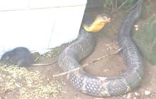 An Giang tìm nhà mới cho 2 con rắn hổ mây khủng