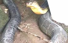 Đã có phương án xử lý cặp rắn hổ mây khủng ở An Giang