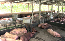 Nhiều cơ sở giết mổ lậu mua heo bệnh chỉ 10.000-12.000 đồng/kg
