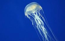 Sinh vật biển độc địa nhất thế giới không còn đáng sợ