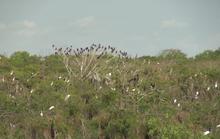 Gần 200 con cò nhạn có sải cánh hơn 1 m bất ngờ xuất hiện tại Bạc Liêu