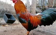 Tranh chấp gay gắt xung quanh chuyện con gà trống của ai?