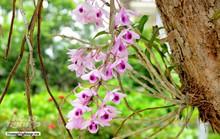 Ngỡ ngàng với khu vườn lan cổ thụ ở Tuyên Quang