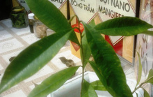 Tách thành công chất kháng ung thư từ lá cây dó bầu