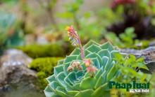 Hoa sen đá kì ảo trên đỉnh Fansipan