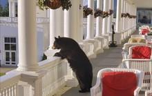 Ngộ nghĩnh hình ảnh gấu đen thư giãn trong khách sạn