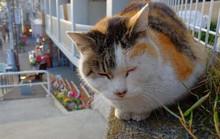 Thị trấn mèo hoang ngay sát thủ đô Tokyo ồn ã
