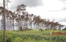 Rừng thông Lâm Đồng tiếp tục bị đầu độc, chết đứng