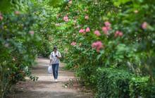 Con đường trăm gốc hoa tường vi đang nở rộ ở Hà Nội