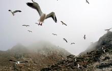 """Mỹ cân nhắc """"rửa"""" quần đảo Farallon bằng 1,5 tấn thuốc chuột"""