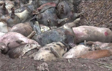 Cận cảnh hàng trăm con heo thối rữa vứt ở vùng ven TP HCM