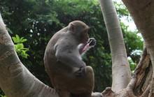 Chùm ảnh: Ngắm hành trình kiếm ăn của đàn khỉ xóm chùa trên núi Sơn Trà