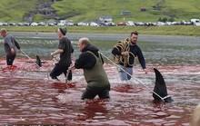 Hàng chục cá voi bị giết, máu nhuộm đỏ nước quần đảo Faroe