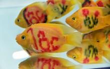 """Cả trăm loài cá cảnh đủ sắc màu """"hút hồn"""" dân chơi thủy sinh ở TP HCM"""