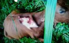 Trâu, bò chết với các dấu vết lạ, nghi bị thú dữ tấn công