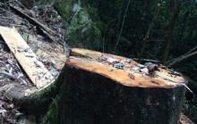 Cận cảnh những cây gỗ khủng bị triệt hạ ở Đà Lạt 2