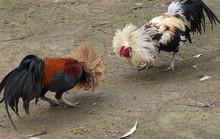 Lý do bị phạt 6 tháng tù vì... trộm 2 con gà