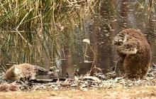 Se sắt cõi lòng chứng kiến koala ôm mặt bên xác đồng loại