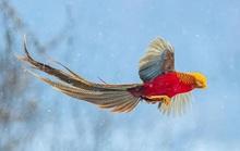 Choáng với vẻ đẹp của loài chim trĩ vàng quý hiếm