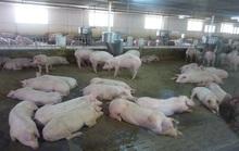 Các đại gia chăn nuôi vượt qua cơn bão dịch tả heo châu Phi như thế nào?
