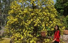 Ngắm hàng loạt cây mai cổ nở hoa vàng rực
