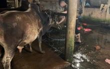 Quảng Nam: Phát hiện 3 cơ sở bơm nước vào bò trước khi giết mổ