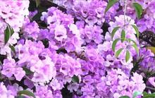 Lạ lùng giàn hoa tỏi đổi màu, hút hồn người đi đường ở Sa Đéc