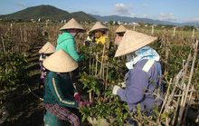 Bình Định: Thương lái lùng mua mai sớm