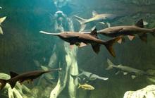 Cá cổ đại nặng gần nửa tấn ở Trung Quốc tuyệt chủng dưới tay con người