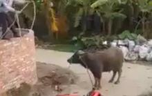 Chủ bò bị trâu lạ húc chết thương tâm