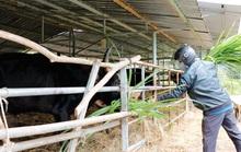 Lo phương án di chuyển đàn bò tót lai