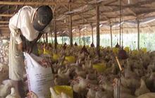 Bất hợp lý: Giá gà công nghiệp ở miền Bắc cao hơn miền Nam đến 60%